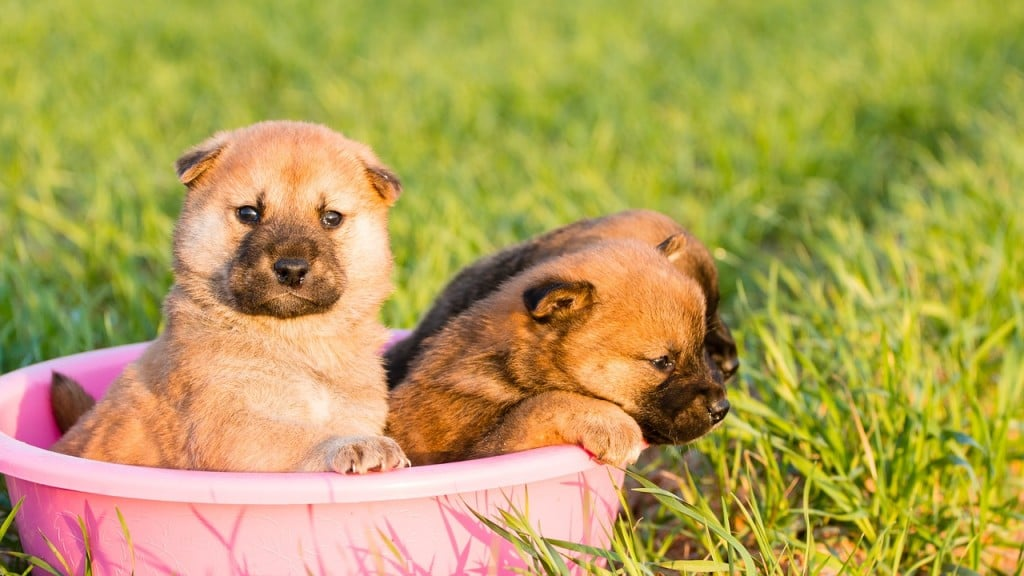 柴犬 赤ちゃん