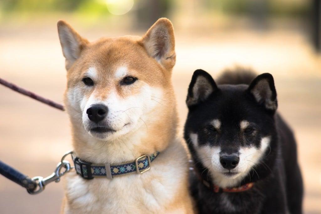 柴犬と豆柴の違い