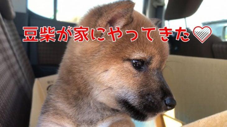 柴犬(豆柴)のかわいい子犬が家にやってきた!