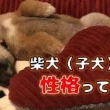 柴犬(豆柴)子犬の性格