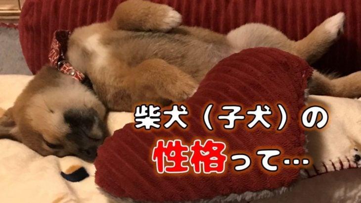柴犬(豆柴)の性格は? 子犬はおとなしい?(特徴・オスメスの違いなど)